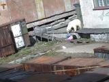 Медвежий беспредел...Чукотка.Мыс Шмидта